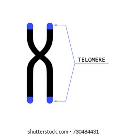 Chromosome structure with telomeres at the ends. Stock vector illustration of dna package in human cell. Medicine and biology collection