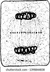 Chromosomes attach to Centro holes a rounded, cytoplasm divided into two part, vintage line drawing or engraving illustration.
