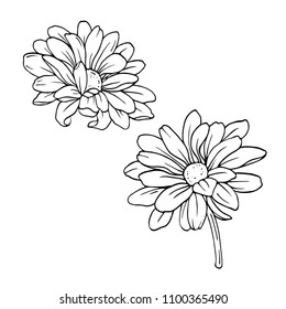 Chrysanthemum or camomile or daisy flower set isolated on white background. Hand drawn vector illustration.