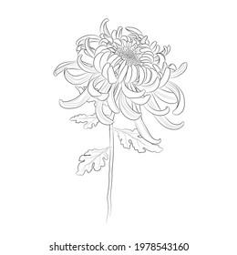 Chrysanthemum flower. Line drawing. Black and white illustration. Vector.