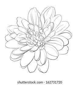 Chrysanthemum flower on white background. Vector illustration.