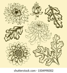 Chrysanthemum flowers, leaves and buds. Set of floral elements. Hand drawn line art on beige background