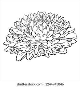 chrysanthemum vector, flower sketch, line drawing