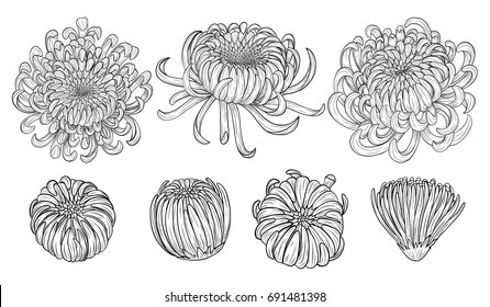 Chrysanthemum vector on brown background.Chrysanthemum set by hand drawing.Floral tattoo highly detailed in line art style.Flower tattoo black and white concept.