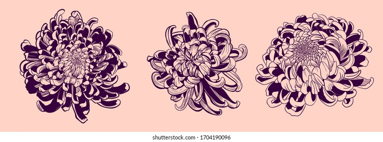 Chrysanthemum vector on pink background. Chrysanthemum set by hand drawing. Floral tattoo highly detailed in line art style.Flower tattoo color concept. Vector