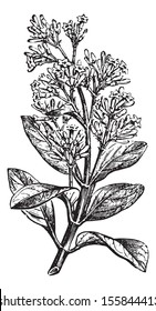 Cinchona calisaya (end a flowery branch), vintage engraved illustration. Usual Medicine Dictionary by Dr Labarthe - 1885.
