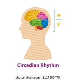 Circadian Rhythm. Brain. Idea. Human