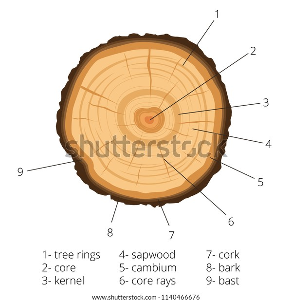 Circular Crosssection Tree Annual Rings Signed Stock Vector