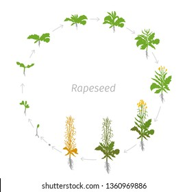 Circular life cycle of Rapeseed Brassica napus oilseed rape Round Growth stages vector illustration