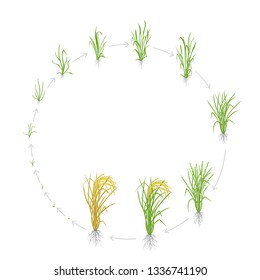 Circular life cycle of rice. Growth stages of rice plant. Rice increase phases. Vector illustration. Oryza sativa. Ripening period. Use fertilizers.