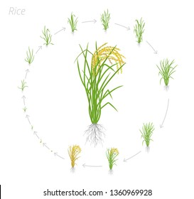 Circular life cycle of rice. Growth stages of rice plant. Rice increase phases. Vector illustration. Oryza sativa. Ripening period.