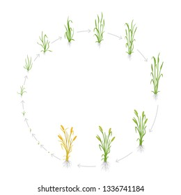 Circular life cycle of rye grain. Growth stages of Rye plant. Cereal increase phases. Vector illustration. Secale cereale. Ripening period.