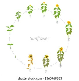 Circular life cycle of Sunflower plant. Helianthus annuus. Round Growth stages vector illustration.