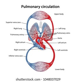 Pulmonary circulation images stock photos vectors shutterstock circulation of blood diagram of pulmonary circulation vector illustration of great and small circles ccuart Image collections