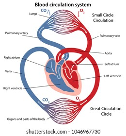Circulation of blood through the heart. Cross sectional diagram of the heart. Vector illustration of great and small circles of blood circulation.