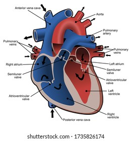 Circulation of blood through the heart. Cross sectional diagram of the heart with main parts labeled. Vector illustration.