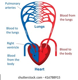 Circulatory system images stock photos vectors shutterstock circulatory system ccuart Images