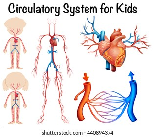 Circulatory system for kids illustration