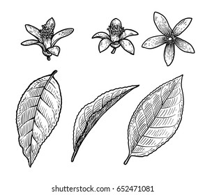 Citrus leaf and flower illustration, drawing, engraving, ink, line art, vector