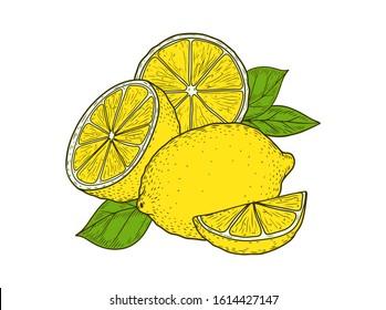Citrus lemon fruit hand drawn sketch vector illustration. Lemon vegan ingredient collection isolated on white background. Lemon citrus fruits.