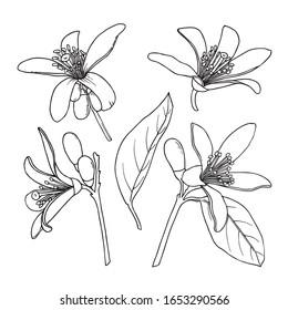 Citrus Neroli flowers set. Ink sketch. Hand drawn vector illustration isolated on white background.