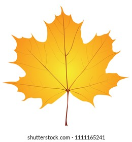 A classic maple leaf is an autumn version. Vector illustration.