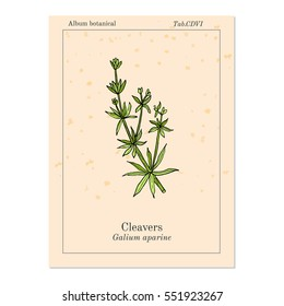 Cleavers (Galium aparine), or goosegrass, catchweed, stickyweed, medicinal herb. Hand drawn botanical vector illustration