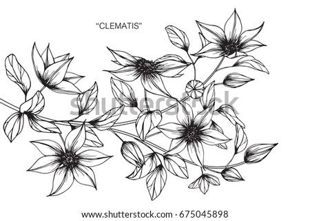 clematis flowers drawing sketch lineart on stock vector royalty