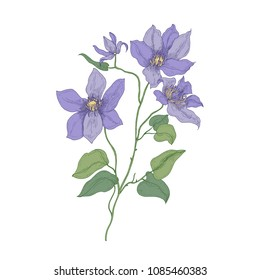Clematis or Traveller's joy purple blooming flowers isolated on white background. Realistic botanical drawing of gorgeous blossoming plant. Hand drawn vector illustration in beautiful antique style.