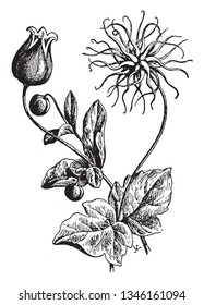 Clematis Viorna also known as leatherflower is a perennial flowering plant found naturally from southeastern Pennsylvania and Delaware south to Georgia. Blooms from May to July, vintage line drawing