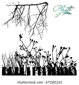 A climbing plant, a dog-rose behind a fence. Branch of a dogrose,  plants silhouette.Detailed vector illustration.