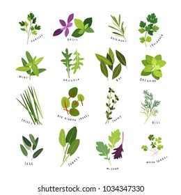 Clip art illustrations of herbs and spices such as parsley, basil, rosemary, coriander, mint, arugula, bay, oregano, chives, red ribbon sorrel, thyme, dill, sage, sorrel, mizuna and wood sorrel