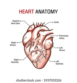 Close up black and white heart anatomy with labels graphic design. Free Vector