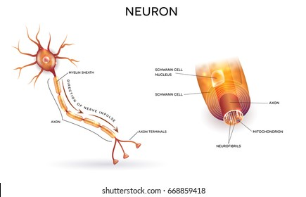 Close up of nerve cell and myelin sheath that surrounds the axon