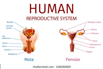 Male Female Reproductive System Images, Stock Photos ...