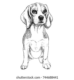 Close-up portrait of sitting Beagle dog. Vector engraved art. Friendly smiling puppy isolated on white background. Pet shelter, flyer, poster, clothing prints. Sketched poster.
