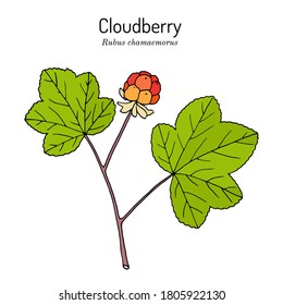 Cloudberry (rubus chamaemorus), or bakeapple, knotberry, knoutberry, aqpik, low-bush salmonberry, averin, evron . Hand drawn botanical vector illustration. Wild berries collection