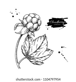 Cloudberry vector drawing. Organic berry food sketch. Vintage engraved illustration of superfood. Botanical branch. Hand drawn icon for label,  poster, packaging design.