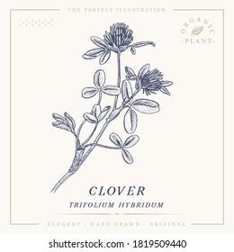 Clover flower botanical sketch vintage retro detailed engraved style illustration