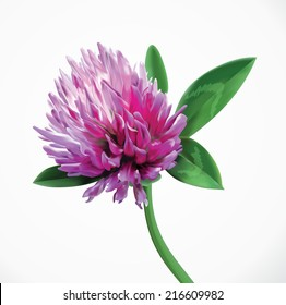 Clover flower herbal branch. Vector red summer clover flower. Realistic close up illustration of seasonal meadow clover flower isolated on white background.