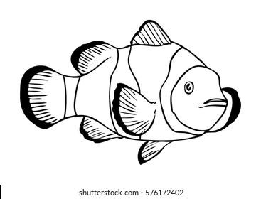 Clownfish Illustration