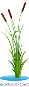 Cluster of three cattails reed stalks with leaves plant with grass in the water. Transparent vector isolated on white background