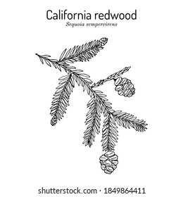 Coastal redwood (Sequoia sempervirens), state tree of California. Hand drawn botanical vector illustration