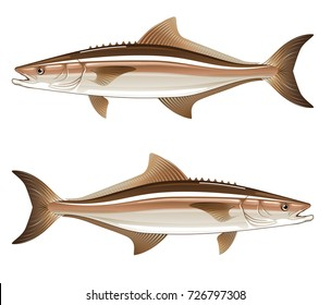 Cobia game fish vector illustration