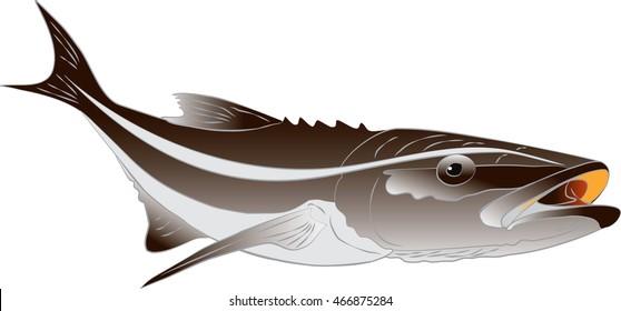 Cobia illustration - Rachycentron canadum