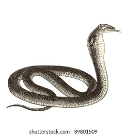 "Cobra - vintage engraved illustration - ""Cent récits d'histoire naturelle"" by C.Delon published in 1889 France"