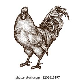 Cockerel, cock, rooster sketch. Hand-drawn vintage vector illustration