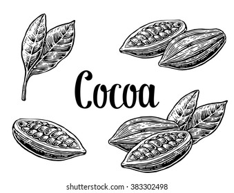 Cocoa bean and leaf. Hand painted. Vintage vector engraving illustration. Isolated on white background