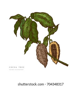 Cocoa beans branch colorful illustration. Engraved style illustration. Chocolate cocoa beans. Vector illustration isolated in white background