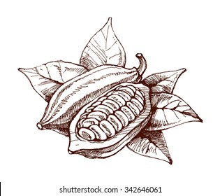 Cocoa beans freehand drawing, chocolate fruit, vector illustration, invigorating ingredient cocoa drink, vintage style